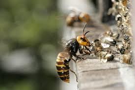Murder Hornet(2)